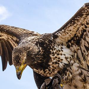 Viewbug Photography Portfolio - Bald Eagle Profile - Grace C Visconti