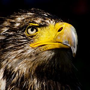 Photography - Young Bald Eagle - Grace C Visconti